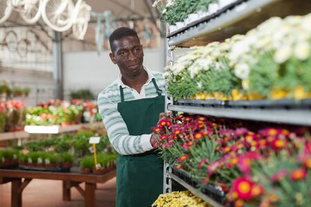 Focused African American male florist working in greenhouse, pushing metal trolley with potted colorful marguerites daisy Stock Photo