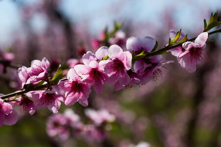 Close-up of pink peach flowers on sunny spring day