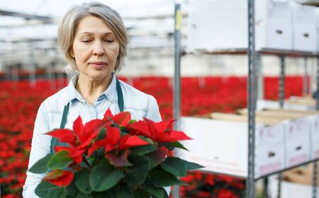 Experienced middle-aged female arranging poinsettia plants while gardening in glasshouse
