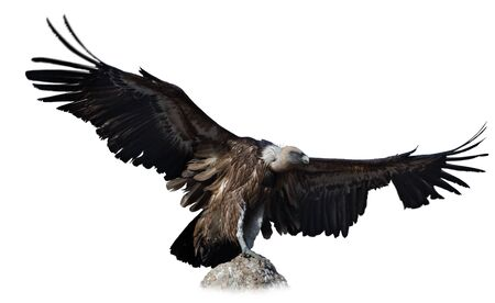 Griffon vulture perched on stone with spread wings against white background