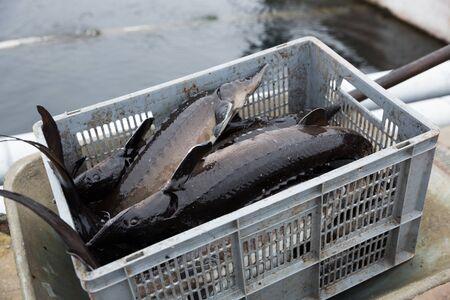 Plastic crate with fresh sturgeon near fish farm tank Imagens