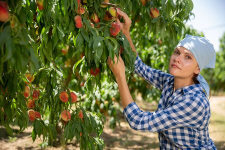 Woman gardener in kerchief during harvesting of peaches  in garden at sunny day