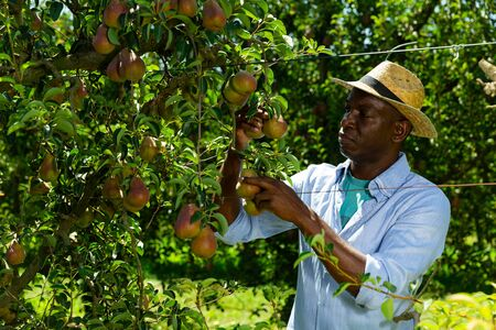 Portrait of African-American man engaged in gardening, picking ripe pears in orchard