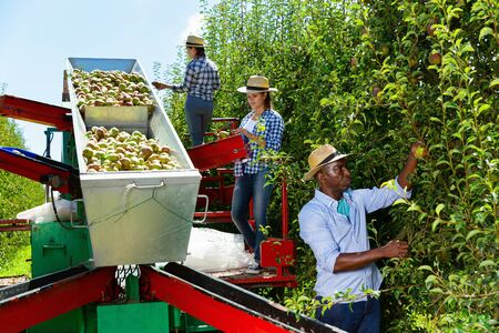 Harvesting season. Diligent positive smiling African-American man with team working on modern harvesting platform in fruit garden, picking ripe pears