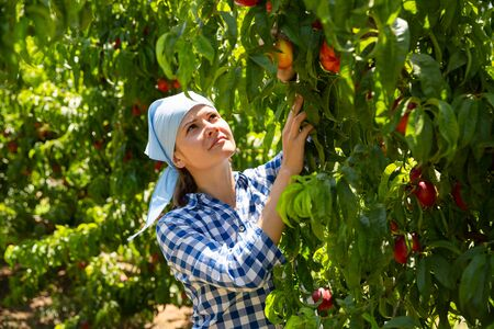 Young female horticulturist in kerchief during harvesting of nectarines in garden