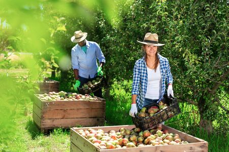 Successful diligent positive cheerful smiling female farmer engaged in picking of pears in orchard, laying harvested fruits in wooden boxes