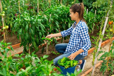 Positive woman farmer picks a harvesting of bell peppers in the garden