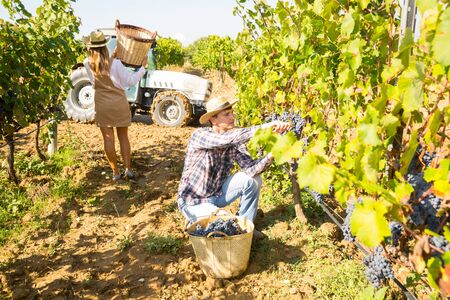 Couple of young winegrowers working in sunny vineyard, engaged in harvesting ripe grapes Stock Photo