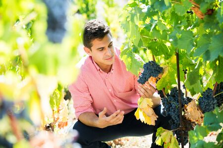 Smiling young man harvesting ripe grape in farm at summertime Stock Photo