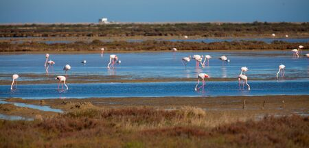 Main attraction of Spanish Natural Reserve Delta del Ebro - group of flamingos in lagoon of river in spring day