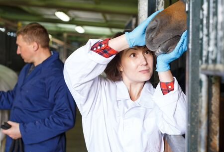 Male worker and female veterinarian examining horse at stable Imagens