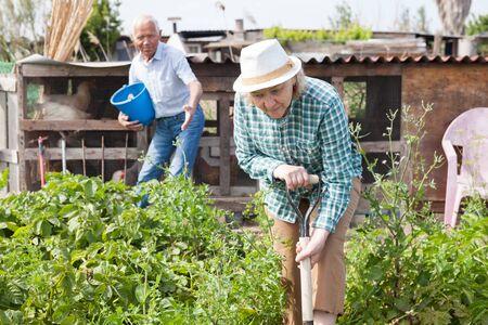 Elderly woman digs up potatoes in the garden Stockfoto