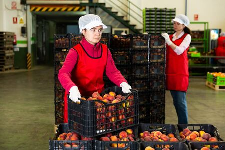 Focused woman working on sorting line at fruit warehouse, stacking boxes with selected nectarines