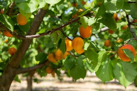 Close up of ripe apricots on trees on sunny day