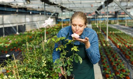 Young woman gardener holding pot with rose and standing near seedlings in  greenhouse