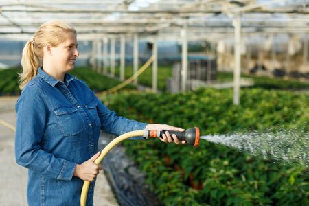 Skilled female worker taking care of Poinsettia seedling in greenhouse, watering plants from hose