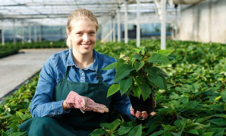 Young woman gardener in gloves working with euphorbia pulcherrima in pots in greenhouse 版權商用圖片