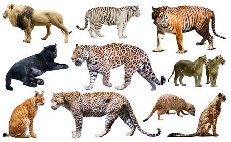 Animaux prédateurs africains isolés sur fond blanc, principalement des félidés Banque d'images