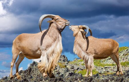 couple of barbary sheeps on rock against cloudy sky