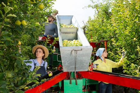 Team of professional workers harvests apples on a plantation