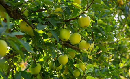 Closeup of ripe sweet apples on tree branches in green foliage of summer orchard