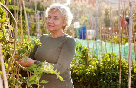 Positive female pensioner gardening in her garden – taking care of tomato plants