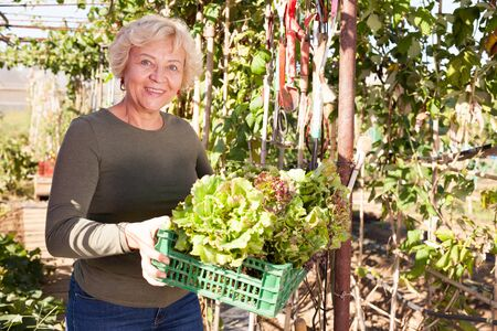 Cheerful mature woman taking armful of lettuce in garden on sunny day