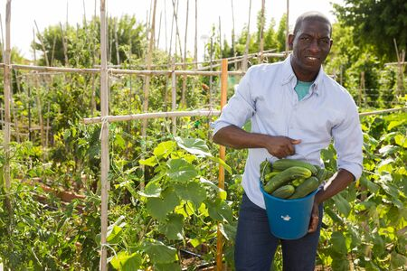 Positive african-american man farmer picks a harvesting of cucumbers in the garden Stock Photo