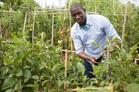 Man  professional horticulturist working with seedlings of  eggplant  in  garden