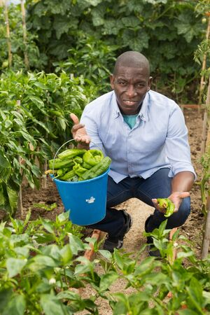 Man professional horticulturist  during harvesting of  green peppers  in  garden