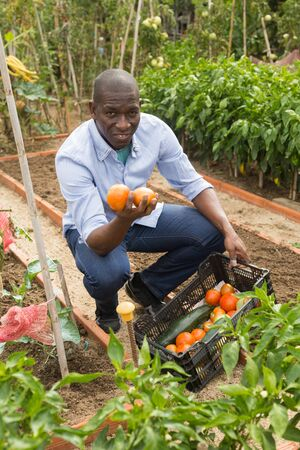 Young man gardener picking harvest of  fresh tomatoes  to crate in  garden