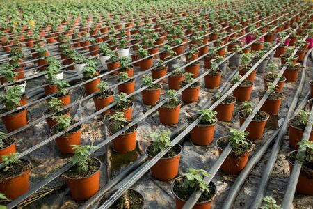 Seedlings of tomatoes growing in pots in greenhouse Stock fotó