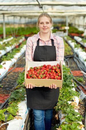 Woman harvesting fresh strawberries at her organic glasshouse plantation