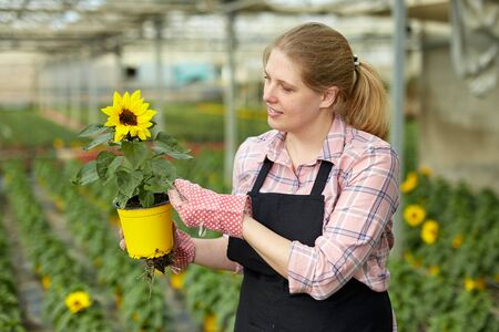 Portrait of female florist working in greenhouse, checking potted plants of ornamental Helianthus