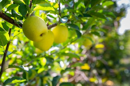 Growing yellow organic apples on tree brunch in orchard in sunny day Stockfoto
