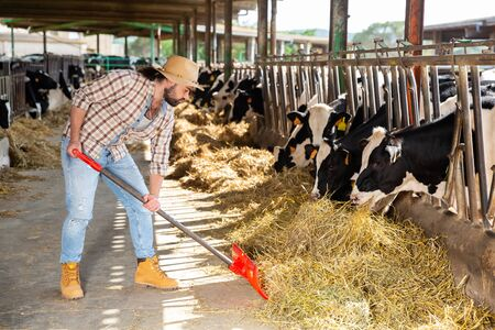 Young  man farmer with shovel working and taking care cows at  cowhouse at farm Archivio Fotografico - 133854465