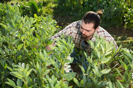 Portrait of positive male farmer picking runner beans in his vegetable garden Archivio Fotografico - 133854470