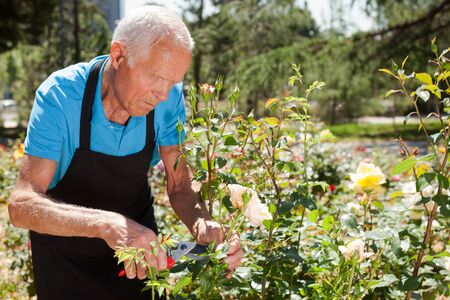 Senior male cutting branches of blooming roses at flowerbed Archivio Fotografico - 133854482