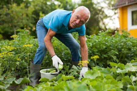 Mature gardener in gloves picking cucumbers in the garden
