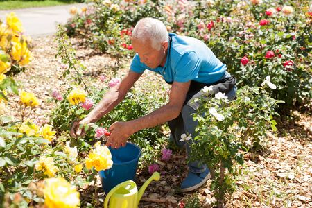 Senior male cutting branches of blooming roses at flowerbed Archivio Fotografico - 133854486