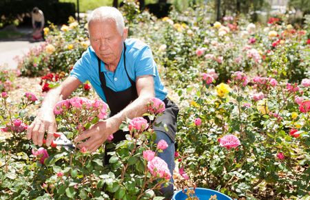 Cheerful mature man cutting with scissors roses bushes at flower bed on sunny day Archivio Fotografico - 133854517