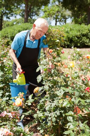 Cheerful mature man controlling growing of roses at flower bed on sunny day Archivio Fotografico - 133854523