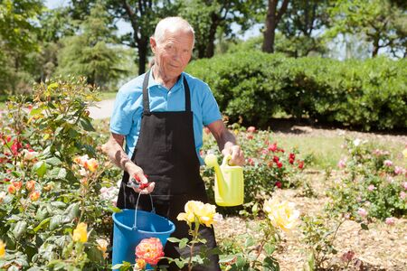 Senior male holding bucket and watering can and taking care of blooming roses at flowerbed Archivio Fotografico - 133854529