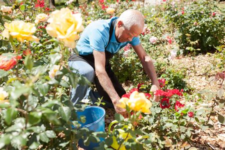 Senior male cutting branches of blooming roses at flowerbed Archivio Fotografico - 133854579