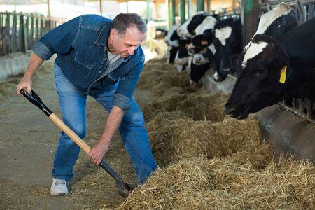 Male farmer who is feeding beasts at the cow farm. Archivio Fotografico - 133854648