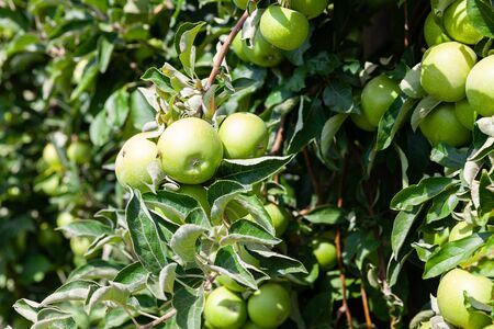 Juicy apples on apple tree branches ready to be harvested in summer fruit garden