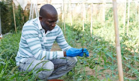 Confident male farmer working in hothouse, making supports for cordon tomato plants Standard-Bild