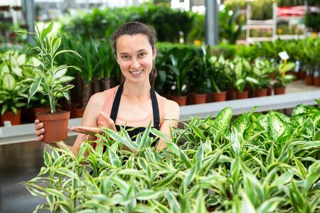 Portrait of young woman florist holding pot with dracaena fragrans-lemon in greenhouse