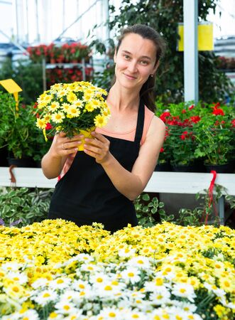 Skilled florist woman engaged in cultivation of plants of argyranthemum in greenhouse