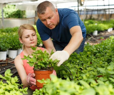 Man and woman gardeners working with peppermint seedlings  in  hothouse Stock fotó